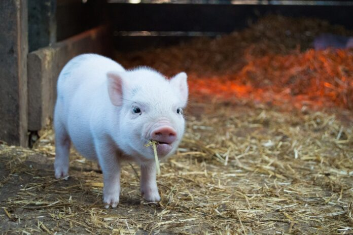 pig, swine flu